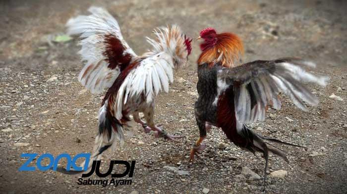 Situs Pasang Taruhan Adu Ayam Menggunakan Uang